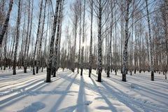 Les arbres de bouleau dans le coucher de soleil pendant l'hiver se garent Image libre de droits
