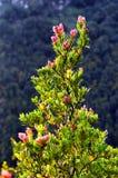 Les arbres de Cantigi se développent habituellement en montagnes ou montagnes image stock