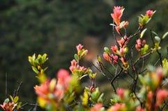 Les arbres de Cantigi se développent habituellement en montagnes ou montagnes photographie stock