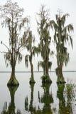 Les arbres de Cypress se développent dans l'eau Photo stock