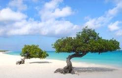 Les arbres de Divi Divi sur l'aigle échouent dans Aruba Image stock