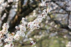 Les arbres de floraison se ferment au printemps contre le ciel bleu image stock