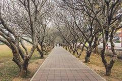 Les arbres de Frangipani sont à feuilles caduques Photo libre de droits