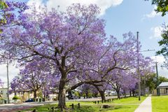 Les arbres de Jacaranda assaisonnent en Australie image stock