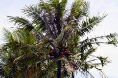 Les arbres de noix de coco Photos stock