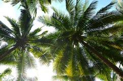 Les arbres de noix de coco sous le jour de soleil Photos libres de droits
