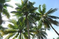 Les arbres de noix de coco sous le jour de soleil Images libres de droits