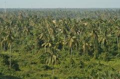 Les arbres de noix de coco en Thaïlande Image libre de droits