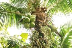 Les arbres de noix de coco ont une noix de coco Photographie stock libre de droits