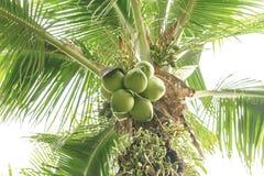 Les arbres de noix de coco ont une noix de coco Images stock