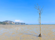 Les arbres de palétuvier meurent Photo stock