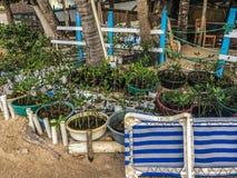 Les arbres de palétuvier préparent pour planter sur une plage en République Dominicaine  photo libre de droits
