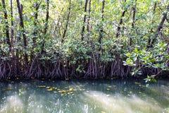 Les arbres de palétuvier sont littoral planté Photo libre de droits