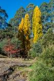 Les arbres de peuplier d'or s'approchent des bois se dirigent, Australie Photos stock