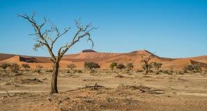 Les arbres de sécheresse s'approchent de la dune 45 Image libre de droits