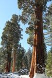 Les arbres de séquoia géant couverts dans la neige photos libres de droits