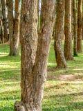 Les arbres donnent une consistance rugueuse dans la forêt Images libres de droits