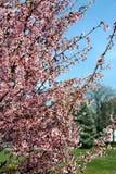 Les arbres fleurit au printemps photo stock