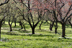 Les arbres fleurit au printemps Image libre de droits