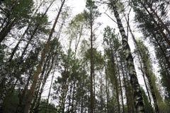 Les arbres forestiers boisés éclairés à contre-jour par lumière du soleil d'or avant coucher du soleil avec le soleil rayonne le  Photos libres de droits