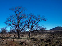 Les arbres isolés chez Jed donnent sur Photographie stock libre de droits
