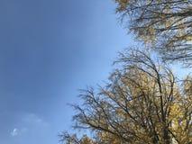 Les arbres jaunes de ginkgo avec le ciel bleu lumineux dans le jour naturel s'allument Photo stock
