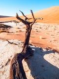 Les arbres morts d'épine de chameau dans Deadvlei sèchent la casserole avec le sol criqué au milieu des dunes rouges de désert de Photographie stock libre de droits
