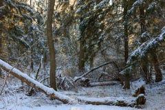 Les arbres neigent tempête de neige enveloppée ensuite Image libre de droits