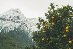 Les arbres oranges avec les oranges mûres en montagne font du jardinage, Alanya, Turquie Photographie stock libre de droits