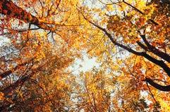 Les arbres oranges d'automne d'arbres d'automne complète contre le ciel bleu dans des tons de vintage Photos stock