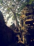 Les arbres s'élevant hors des ruines sont peut-être la plupart de caractéristique distinctive des ventres Prohm Images stock
