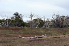 Les arbres sur le rivage de Lago Blanco Photo libre de droits