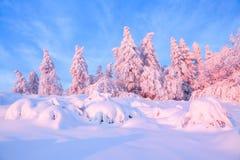 Les arbres tordus gentils couverts de couche épaisse de neige éclairent le coucher du soleil coloré rose dans le beau jour d'hive Image libre de droits