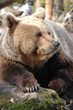 les arctos portent l'ursus brun photos stock