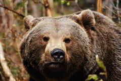 les arctos portent l'ursus brun Image stock