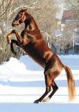 Les arrières de cheval de rouge Image stock
