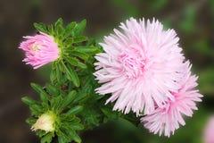 Les asters roses invitent des amis à la boule Fleurs d'asters sur un fond d'isolement images stock
