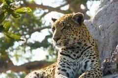Les attentes femelles isolées de léopard tranquilles au-dessus d'une colline la recherchant prient en réservation privée de jeu d Images libres de droits