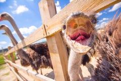 Les autruches sont Valier Image libre de droits