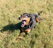 Les bâillements de chien se trouvant sur l'herbe verte Photos libres de droits