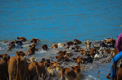 Les bétail conduisent le titre dans la rivière Images libres de droits
