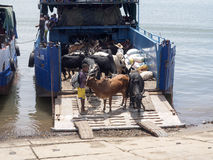 Les bétail de chargement sur des bateaux dans le port de fouineur soient, le Madagascar Photos stock