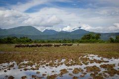 Les bétail du buffle d'eau marche dans le domaine de riz avec le refl Image libre de droits