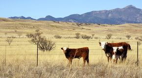 Les bétail frôlent dans la prairie image stock