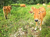 Les bétail indigènes frôlent Image stock