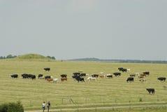 les bétail mettent en place le pâturage Photographie stock libre de droits
