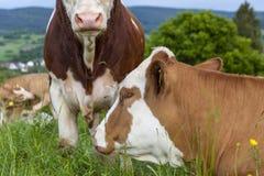 Les bétail se trouvent sur un pré vert Image libre de droits
