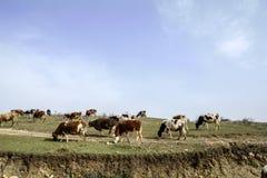 Les bétail sur les pentes herbeuses Photographie stock libre de droits