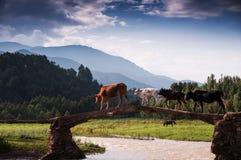 Les bétail teams le pont acrossing Photo libre de droits