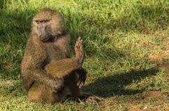 Les babouins de singe s'approchent du lac Nakuru au Kenya Image libre de droits